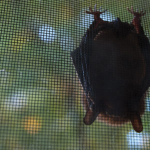 Protect Against Rabies by Avoiding Contact with Bats, Immunizing Pets