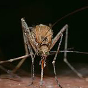 ​West Nile Virus Confirmed in Spokane County Mosquitoes, Horses