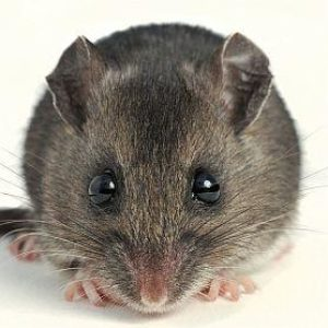 Hantavirus Death Reported in Spokane County; Man Likely Exposed in Adams County